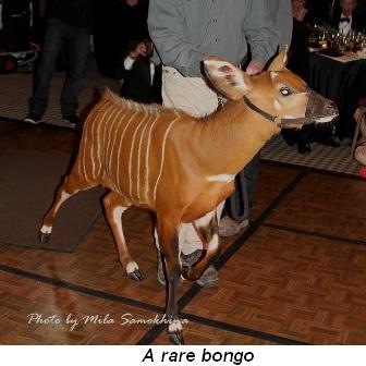 Blog 19 - A rare bongo