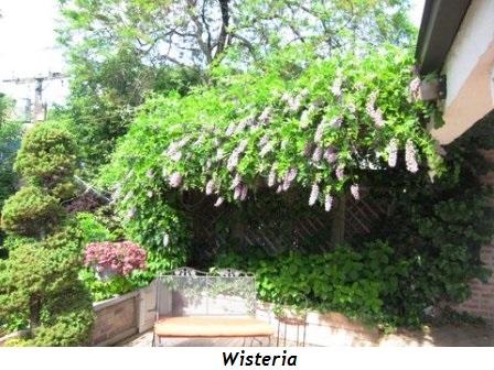 17 - Wisteria