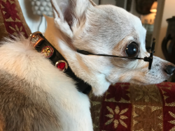 Rooney wearing his new Concha Collar, watch for a Rooney Charm coming soon to benefit PAWS Chicago!
