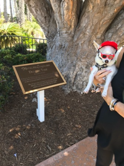 The Del is very pet and kid-friendly! Here's Rooney next to the hotel's 100 year-old Dragon Tree