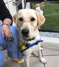 A Canine Companion for Independence in training
