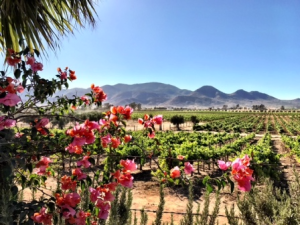 The vineyard at Adobe Guadalupe, Valle de Guadalupe
