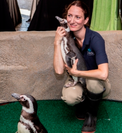 Trainer holds a Magellanic penguin at BLU event