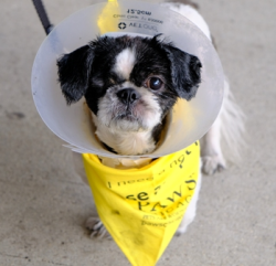 Betty Sue, a 5-year-old Shih Tzu, will be ready for adoption after her medical treatments are done.