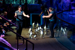 The aquatic presentation finale--parade of Magellanic penguins!